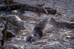 Eurasian Otter (redape99_) Tags: nikon animal cork ireland mammal nature outdoor river telephoto water fermoy countycork