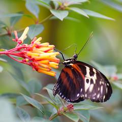Butterfly (Borreltje.com) Tags: burgerszoo dierentuin arnhem butterfly vlinder