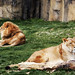 Lions at The Montgomery Zoo in Oak Park. Original image from Carol M. Highsmith's America, Library of Congress collection. Digitally enhanced by rawpixel.