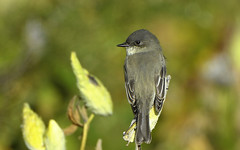 Phoebe (hd.niel) Tags: easternphoebe flycatcher birds nature wildlife photography ontario autumn fall habitat