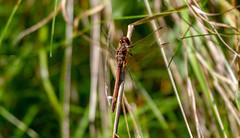 Photo of Ruddy Dragon