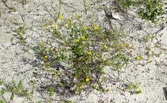Verbesina encelioides --  Skunk Daisy in flower 8369 (Tangled Bank) Tags: hypoluxo coastal scrub forest remnant palm beach county florida wild nature natural outdoors trail hiking verbesina encelioides skunk daisy flower 8369 flowering wildflower