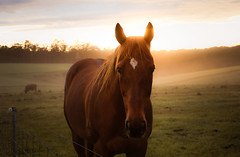 The Ginger Ninja at dawn. (Skye Auer) Tags: spring dawn humid storm mist weather horse rural bestmate skyeauer nswtrt racehorse thoroughbred victoria