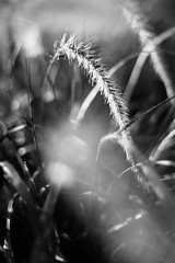 Setting the Sun (belleshaw) Tags: blackandwhite nature frontyard grass purplefountaingrass seeds blooms tails garden soft feathery backlit sunset plant detail abstract bokeh