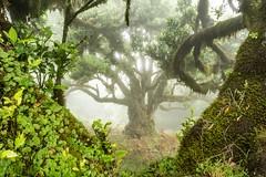 Madeira (Michel van Kooten) Tags: tree green forest madeira madère madeiraisland madera portugal mist fog nature natureza