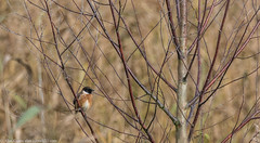 9Q6A5440 (2) (Alinbidford) Tags: alancurtis brandonmarsh nature stonechat wildbirds wildlife