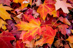 This Time of the Year, Can You Feel it in the Air? (KC Mike Day) Tags: leaves fall autumn colors red yellow grass park loose kcmo time