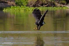 Great Black-Hawk (www.NeotropicPhotoTours.com) Tags: greatblackhawk birdofprey birdphotography neotropicphototours juancarlosvindas naturephotography hawk talons brazil pantanal fishing hunting