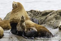 steller sea lion-7117 (pmbell64) Tags: capitalg britishcolumbia canada ca