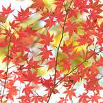 Maple in Hakone thumbnail