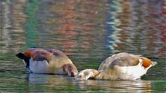 Rainbow water HSS (stellagrimsdale) Tags: slidingonsunday sundaysliders sunday postprocessed colours egyptiangoose geese water bokeh rainbow eyes birds waterfowl wildlife hollowpond happyslidersunday canon hss