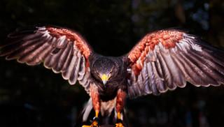 Greifvogel mit ausgebreiteten Flügeln