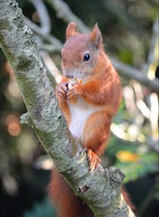 Stop looking at my nuts, you're making me nervous... (mlcphotography666) Tags: fur tail eyes ears trees redsquirrel red squirrel animals nature