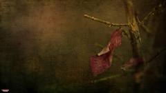 Mercy (MBates Foto) Tags: availablelight bokeh botanicals branch bush color daylight existinglight fall flora floral flowers garden hedge leaf nikkorlens nikon nikonais nikond810 nikonfx outdoors plants shrub textures wood
