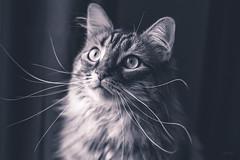Amy F. F. portrait pour le plaisir. (LACPIXEL) Tags: amy amyff chat cat gato pet mascota animal animaldecompagnie animaldomestique portrait retrato regard mirada look moustache bigote noiretblanc blancoynegro blackandwhite sony ilce7rm3 a7r3 365 flickr lacpixel whiskers