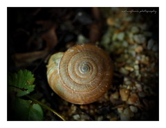 The spiral. (natureflower) Tags: mygarden shellfish macro