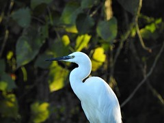 Aigrette garzette (chriscrst photo66) Tags: waterbird animal oiseau bird aigrette garzette lac gironde nikoncoolpixp900