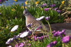 Crested Pigeon Among The Flowers (Geoffsnaps) Tags: ilovebirds ilovenature feathers birds animals nature beautiful beautyofnature birdsarebeautiful superbbirds nikond810 nikon d810 fx nikonnikkor200500mmf56eedafs nikkor 200500mm f56e e ed afs induroct414carbontripod induro ct414 carbon tripod acratechgpballhead acratech gp ballhead flowers colour colourful backyard explored