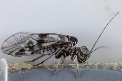 Bark Louse (Collingwood edition) (zosterops) Tags: australia tasmania hobart knockloftyreserve canoneos6d canonmacrolensmpe65 macro insecta psocoptera psocidae ptycta
