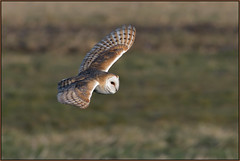 Barn Owl (image 1 of 3) (Full Moon Images) Tags: wildlife nature cambridgeshire fens bird birdofprey flight flying barn owl