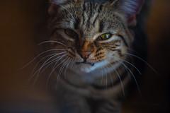 Nala  ... (Julie Greg) Tags: colours cat eyes details animal pet portrait