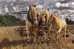 Harvest (10) (JLM62380) Tags: foal poulain houlle moissonneuse nostalgie ancien temps combine moisson harvest horse field cheval champ france workhorse chevaldetrait