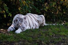 Witte tijger - White tiger (Den Batter) Tags: nikon d7200 zooparc overloon tijger tiger bengaalsetijger wittetijger whitetiger pantheratigris