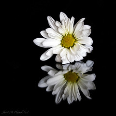Daisy (jmhutnik) Tags: daisy white reflection macro yellow petals bloom