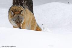 Lupo _020 (Rolando CRINITI) Tags: lupo mammiferi bayerischerwaldnationalpark libertàcontrollata germania natura neve
