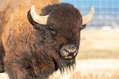 Bison bull up close