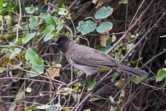 Dark-capped Bulbul (Pycnonotus tricolor) (Mikhail & Yana) Tags: darkcappedbulbul pycnonotustricolor bird birdsofbotswana nature wildlife