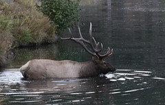 Big Bull Elk Swimming Across Bear Creek (fethers1) Tags: elk bullelk evergreen bearcreek coloradowildlife