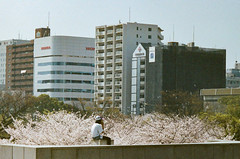 FILM | SHIELD OF THE CITY (藍川芥 aikawake) Tags: sakura shield protection net mess beautiful child kid peace grace precious time film pentaxlx kodak portra400 city japan osaka