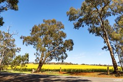 The Lucky Country (red stilletto) Tags: northeastvictoria dookie spring canola farm farms