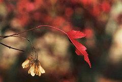 autumn bokeh 2 (EllaH52) Tags: autumn twig leaf red bokeh simplicity macro
