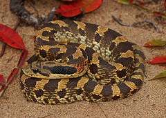 Eastern Hognose Snake (Heterodon platyrhinos (2ndPeter) Tags: easternhognosesnake eastern hognose snake heterodon platyrhinos heterodonplatyrhinos serpent scales sand sandprairie prairie missouri halloween leaves fall autumn colors fieldherping field herping herp canonrebelt3i canon rebel t3i 100mmmacrolens 100mm macro lens peterpaplanus peter paplanus photography flickr midwest creature critter animal reptile wildlife nature