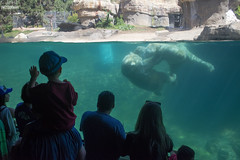 Childs of All Ages, Enjoying to see polar bears playing.  San Diego Zoo, California, USA. (El Lemus) Tags: san diego zoo sandiego ellemus el lemus martin bears polar osos polares ice artic antartic artico water brothers brother playing play juego jugando swim swimming nadar nadando zoologico california ca travel traveler nature natura naturaleza america enjoy joy enjoying danger species specie extinction family childs child childhood white pawns