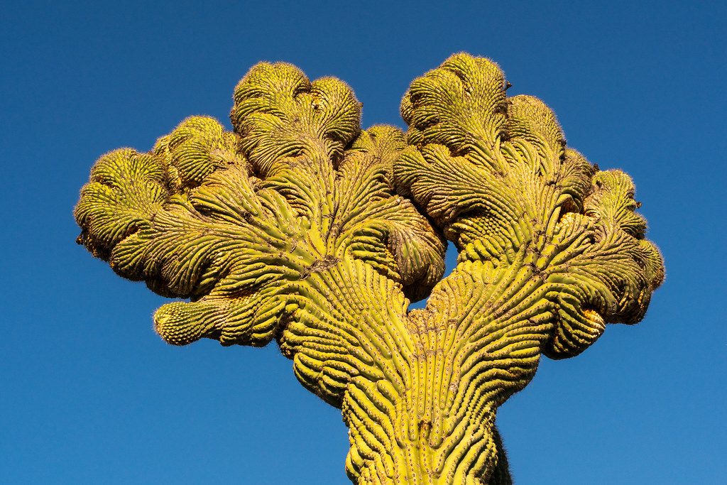 The two crests of a double crested saguaro along the Coyote Canyon Trail in McDowell Sonoran Preserve