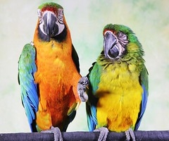 Macaw buddies. (Gillian Floyd Photography) Tags: parrot macaw buddies friends