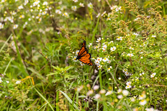 7K8A7631 (rpealit) Tags: scenery wildlife nature weldon brook management area monarch butterfly