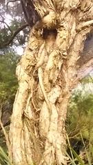 Melaleuca linariifolia (sftrajan) Tags: botany tree bark melaleucalinariifolia arbol strybingarboretum sanfranciscobotanicgarden botanicalgarden snowinsummer narrowleavedpaperbark flaxleavedpaperbark australianplants australianflora botanischetuin botaniskträdgård myrtaceae
