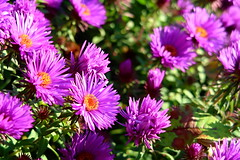 Purple flowers (ZdenHer) Tags: purple flowers macro flower canonpowershotg7xmarkii