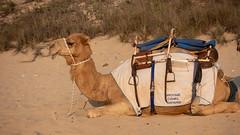 10003380.jpg (KevinAirs) Tags: camels kevinairs ocean camel travel westernaustralia ©kevinairswwwkaozcomau sand sky landscape landscapes beach australia sea