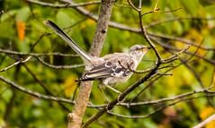 7K8A8292 (rpealit) Tags: scenery wildlife nature state line lookout immature mockingbird bird