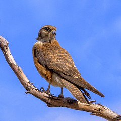 lagoon creek - brown falcon (Fat Burns ☮ (gone bush)) Tags: brownfalcon falcoberigora falcon raptor bird australianbird fauna australianfauna nikond500 nikon200500mmf56eedvr lagooncreek barcaldine nature outdoors wildlifeaustralianwildlife australianfalcon