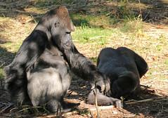 western lowlandgorilla Mintha and BaoBao Apenheul 094A1781 (j.a.kok) Tags: ape apenheul aap animal africa afrika mammal zoogdier dier primate primaat monkey mensaap mintha baobao westelijkelaaglandgorilla westernlowlandgorilla lowlandgorilla laaglandgorilla gorilla silverback zilverrug