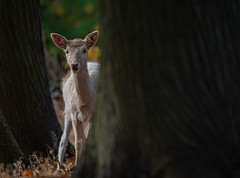 Fawn in Autumn (neil 36) Tags: fawn deer woodland autumn cervidae babydeer nature wildlife outdoors woodlands rutting auyumnal