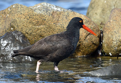 On the prowl (Snixy_85) Tags: oystercatcher haematopusbachmani blackoystercatcher