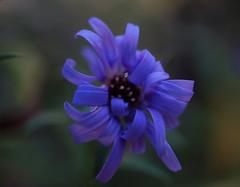 """Frisettes - Macro Mondays (passionpapillon) Tags: fleur flower passionpapillon 2018 aster macromondays foldedorcreased"""" crinkledwrinkledfoldedorcreased"""