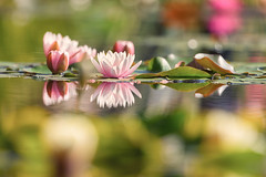 Water Lilies (mclcbooks) Tags: flower flowers floral waterlilies waterlily lilypads pond denverbotanicgardens colorado summer reflections